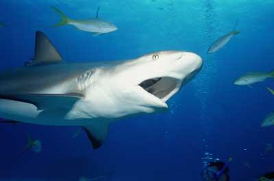 shark 15